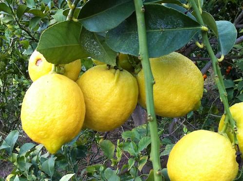 lemons in the yard