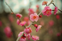 Focusing on beauty (Huey Yoong) Tags: flower nature garden flora dof bokeh bloom ume osakajo osakacastle plumblossoms plumgarden 5photosaday flowerphotography hbw plantphotography nikond700 happybokehwednesday nikkor28300mmvr