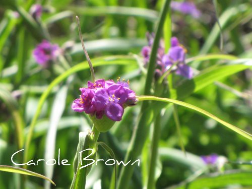 Spiderwort in Bloom