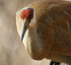 What You Looking At (Fitforeverphotographer) Tags: bird nature crane wildlife kensington sandhillcrane kensingtonmetropark kensingtonspring2011