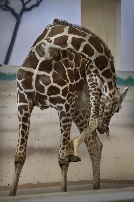 giraffe post-
