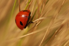 Stepping into Spring (Ed Melia) Tags: grass sunshine spring ladybird ladybug gmt southknightongarden