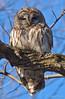 Barred Owl 1