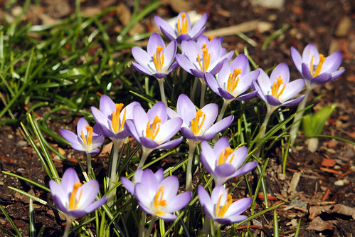 more crocus for Karen