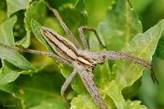 Arácnido - Pisaura mirabilis bastante grande, a 1:1 sin recorte (Joaquim F. P.) Tags: aproximación arachnida arácnido arthropoda artrópodo cataluña caza fauna micronikkor105mmf28afd pisauramirabilis seda spidersilk telaraña vilaseca naturaleza spider parque nikon araña arachnid animal jfp catalunya tarragona macro fotografia fotomacrografía macroextremo macrophotography joaquimfp aracnido costadorada salou costadaurada naturalista fotografianaturalista mediterranean goldencoast extreme closeup