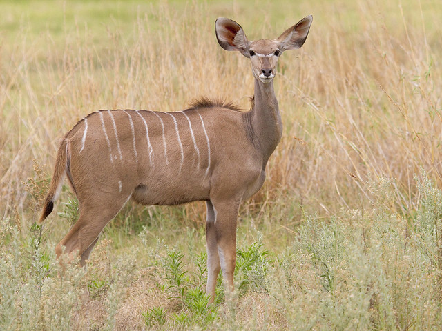 Lesser Kudu, female (Tragelaphus imberbis)
