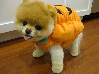 boo_Pomeranian_Dog_46