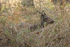 deer ~ Nagarhole national park (LaylaLee) Tags: park india national gandhi karnataka rajiv