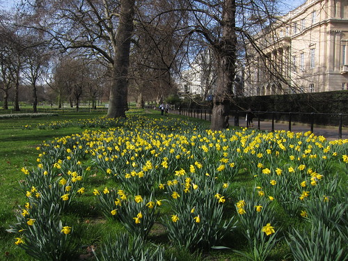 Daffodils at Green Park