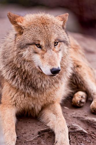 Cool posing wolf