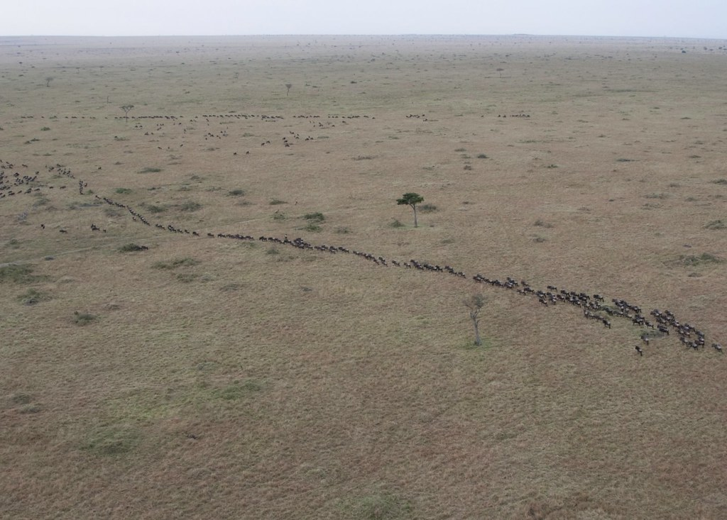The Great Annual Wildlife Migration,The Great Migration of Wildebeest and Zebra