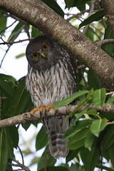 barking owl towncommon 270311 05 (ed1944) Tags: barkingowl ninoxconnivens townsvilletowncommon