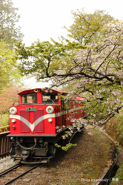 阿里山櫻花季陰天版31