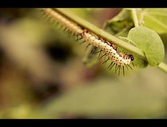 Caterpillar (Cyrielle Beaubois) Tags: canada macro nature canon garden eos dof montral bokeh tubes exhibition caterpillar exposition qubec botanic extended chenille jardinbotanique bagues kenko papillonsenlibert 400d eos400d freebutterflies cyriellebeaubois