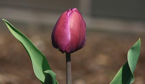 Y Tulip