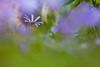 Secret Garden (Anemone Blanda), Kent (flatworldsedge) Tags: grass garden petals kent dof purple bokeh secret anemoneblanda lowpov yahoo:yourpictures=inbloom