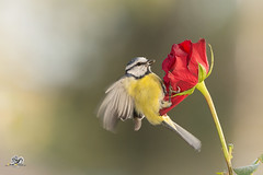 hold on (Geert Weggen) Tags: nature animal perennial closeup cute plant funny happy summer ground bright light branch yellow bird tit titmouse flower red rose stem wing fly sweden geert weggen jmtland ragunda