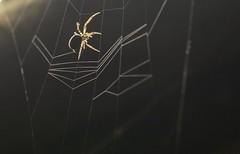 Weaving (willjatkins) Tags: spider arachnid web orbwebspider araneus spiderweavingweb webmaking spiderweb spiderandweb ukwildlife ukarachnids ukarachnid ukspiders ukspider britishwildlife britisharachnids britishspiders britishspider urbanwildlife urbanspiders macro macrowildlife closeupwildlife closeup nikond7100 sigma105mm backlit backlighting animalbehaviour hertfordshirewildlife hertfordshirespiders hertfordshirespider