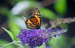 Monarch02 (hartjeff12) Tags: monarch butterfly bloomington indiana butterflybush buddleiadavidii