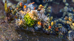 Narrabeen Garden (RoosterMan64) Tags: australia nsw narrabeen macro shell rockshelf