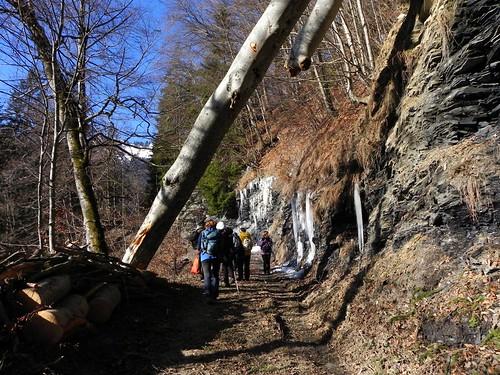 Un tronc de hêtre tombé au dessus du chemin 015