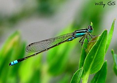 capturado! (Willy GS) Tags: blue insectos color verde green texture textura colors animal animals azul canon insect flickr shapes award insects vert colores bleu textures animales formas shape texturas forma celeste insecto flickraward cmwdgreen eos550d guillermosiemens