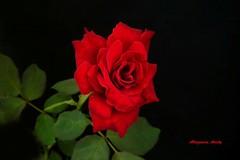 Dora (Altagracia Aristy) Tags: flower rose amrica dominicanrepublic flor rosa dora tropic caribbean antilles laromana caribe repblicadominicana trpico antillas quisqueya altagraciaaristy fujifilmfinepixhs10 fujihs10 fujifinepixhs10 caraib carabi