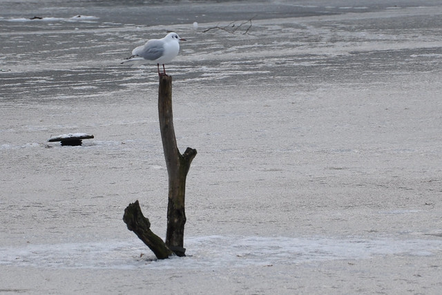 seagull on stick