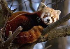 Red Panda (Blitzknips) Tags: animals itsazoooutthere naturesgreenpeace panda roterpanda redpanda tiere tierpark tierparkberlin zoo specanimal tier animal katzenbär