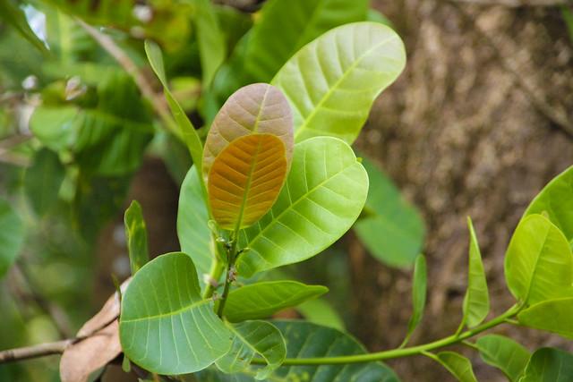 cashew leafs