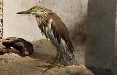 The sitter (jmanj) Tags: urbannature baroda vadodara citybirds birdphotography cityanimals pondheron urbanindia johannesmanjrekar