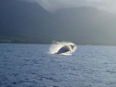 232323232fp43__nu=3272_673__9;_WSNRCG=32334269_6;76nu0mrj (LindsayJensen) Tags: vacation hawaii jump maui pacificocean whale aquaticmammal magestic oceanscene wintermigration lis5403sp11