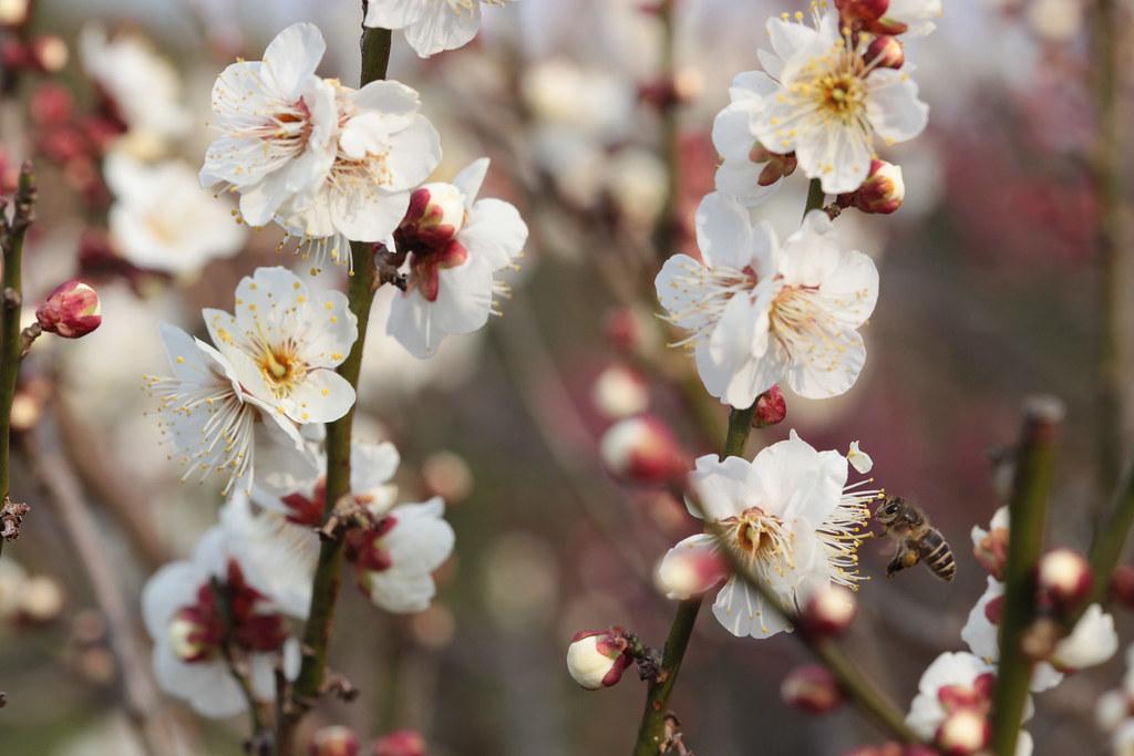 Plum blossoms at Banpaku-kinen-koen