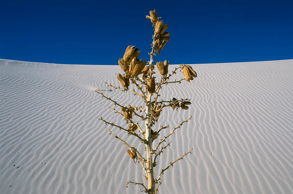 94183 Yucca at White Sands
