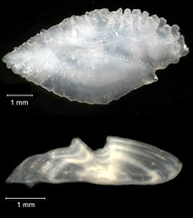 Black Sea Bass Otolith (FWC Research) Tags: fish florida research otolith