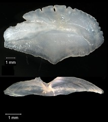 Vermilion Snapper Otolith (FWC Research) Tags: fish florida research otolith