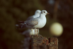 Gaviota reidora (Fran Garca Salomn) Tags: bird canon seagull gull ave canoneos gaviota oiseau pjaro paxaro canoneos1000d chroicocephalusridibundus eos1000d canon55250mmf4556efsis