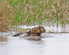 Swim forest swim (Andrew Haynes Wildlife Images) Tags: nature wales swim hare wildlife hightide wirral rspb parkgate canon7d ajh2008
