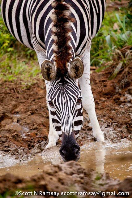 South Africa - KwaZulu Natal - iSimangaliso Wetland Park - Zebra