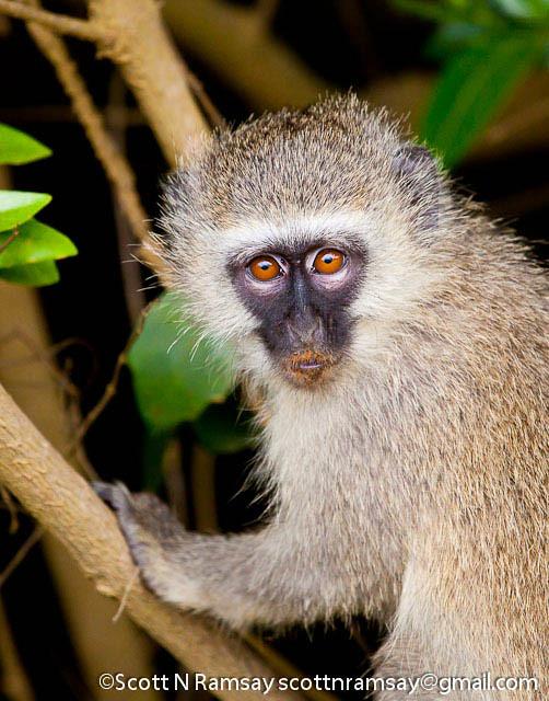 South Africa - KwaZulu Natal - iSimangaliso Wetland Park - Vervet monkey