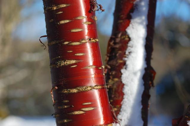 Silky red bark on a Prunus serrula tree