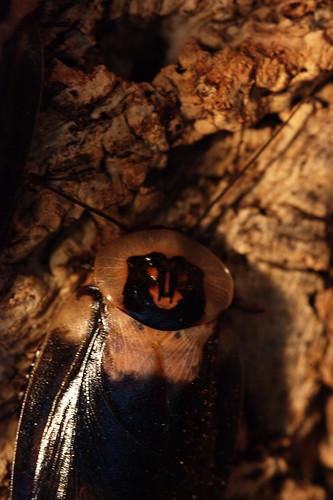 Death's Head Roach