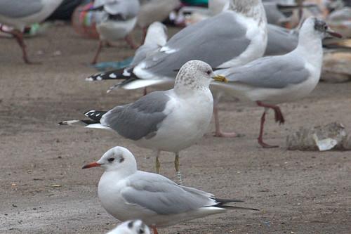 Common Gull - WHITE [E54Z] / black