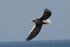 Late Stellers Sea Eagle - From what will probably be the last batch in winter 2010/11...........