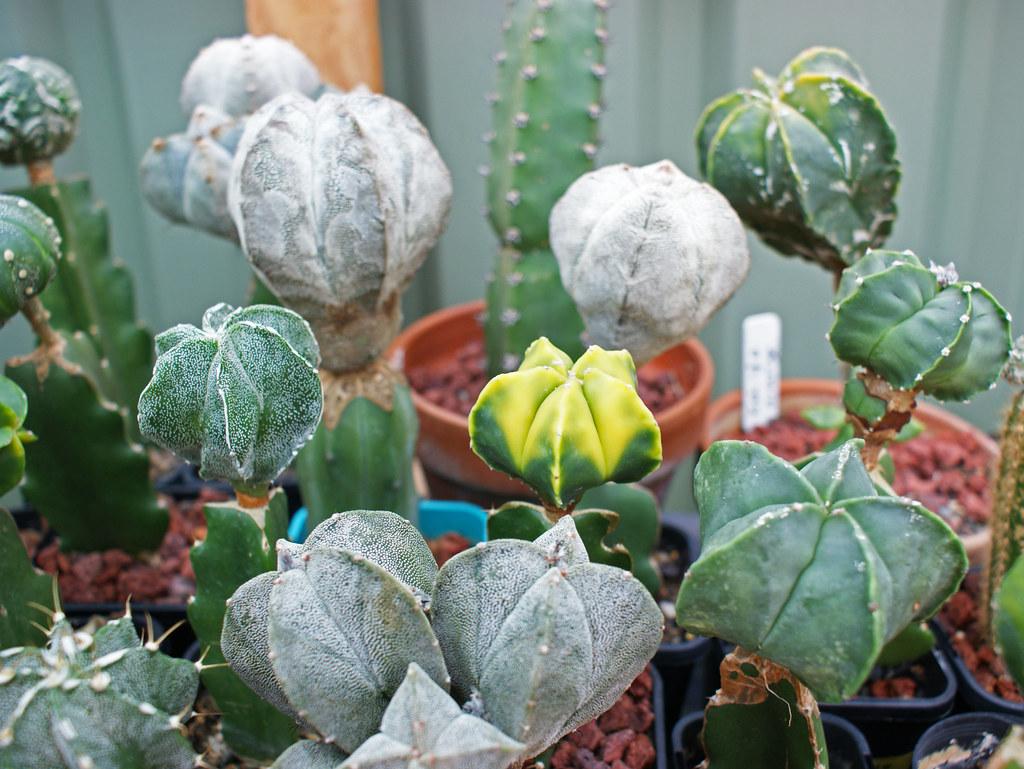 Astrophytum Cultivars  5481011485_05b30f1d6a_b