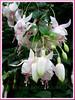 Fuchsia 'Annabel' (Fuchsia, Lady's Eardrops, Bush Fuchsia, Basket Fuchsia, Trailing Fuchsia)