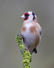 Goldfinch (Andrew Haynes Wildlife Images ( away for a while )) Tags: bird nature wildlife goldfinch warwickshire canon7d ajh2008