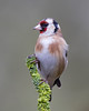 Goldfinch (Andrew Haynes Wildlife Images) Tags: bird nature wildlife goldfinch warwickshire canon7d ajh2008