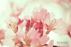 Spring Inspiration (KimFearheiley) Tags: pink spring blossom springtime shakespeareinlove noddingviolet kristybee kimfearheileyphotography