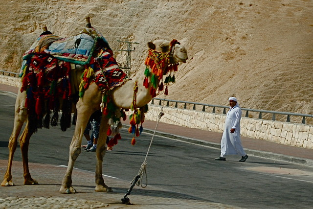 Shepherd and his Camel on the drive down to the Dead Sea (Copyright two4travel.net)